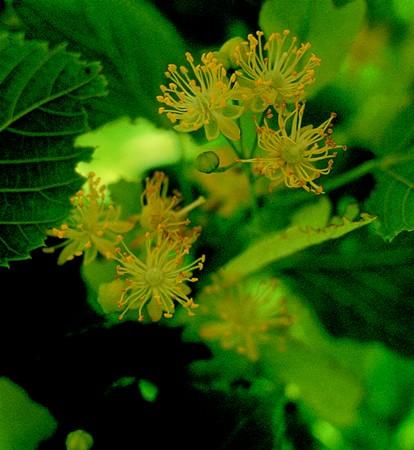 LINDEN - Tilia platyphyllos