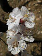 Kajszibarack (Prunus armeniaca)