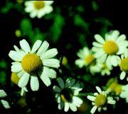 Kamilla (Matricaria recutita)