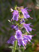 Kerti izsóp (Hyssopus officinalis)