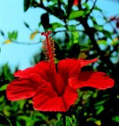 Kínai mályvarózsa (Hibiscus rosa sinensis)