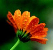 Körömvirág (Calendula officinalis)