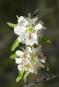 Körtefa (Pyrus communis)