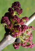 Kőrisfa (Fraxinus excelsior)