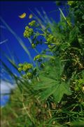 LADY'S MANTLE - Alchemilla vulgaris