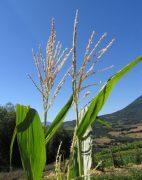 Kukorica (Zea mays)