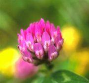 Lóhere (Trifolium pratense)