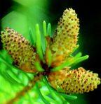 Lucfenyő (Picea abies)