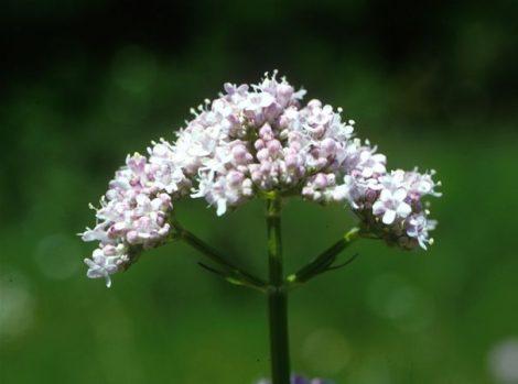 Macskagyökér (Valeriana officinalis)