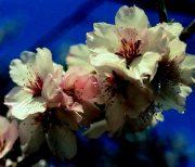 Mandulafa (Prunus amygdalus)