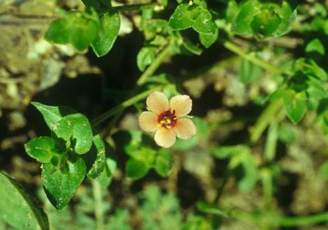 Mezei tikszem (Anagallis arvensis)