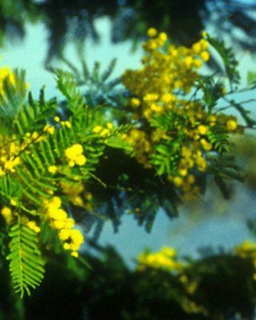 Mimóza (Acacia dealbata)