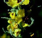 Molyhos ökörfarkkóró (Verbascum thapsus)