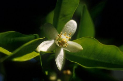 Narancsfa (Citrus sinensis)