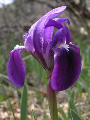 Nőszirom (Iris sp.)