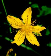 Orbáncfű (Hypericum perforatum)