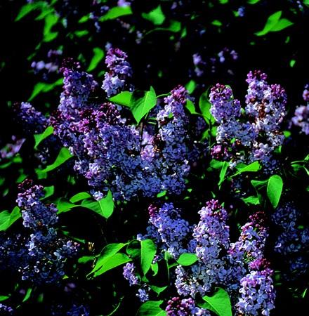 Orgona (Syringa vulgaris)