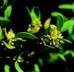 Örökzöld puszpáng (Buxus sempervirens)
