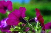 Petúnia (Petunia hybrid)