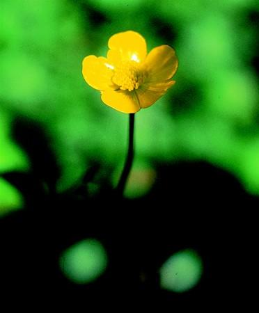 BUTTERCUP - Ranunculus acris