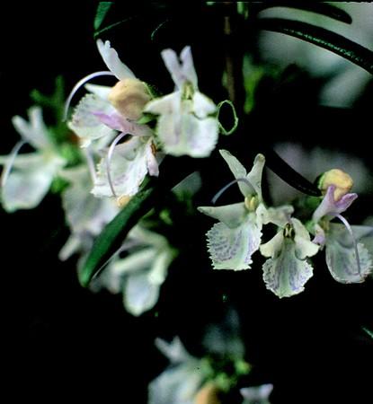 Rozmaring (Rosmarinus officinalis)