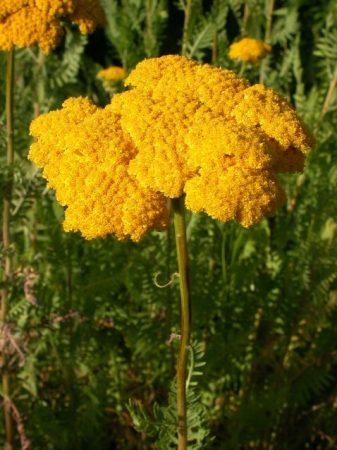 GOLDEN YARROW - Achillea filipendulina