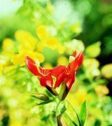Skarlát maszkvirág (Mimulus cardinalis)
