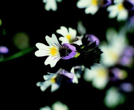 EYEBRIGHT - Euphrasia officinalis