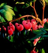 Szívvirág (Dicentra spectabilis)
