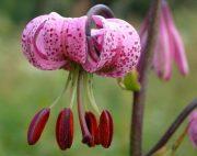 Turbánliliom (Lilium martagon)