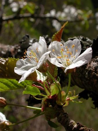 CHERRY TREE - Prunus avium