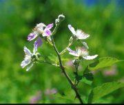 Vadszeder (Rubus fructicosus)