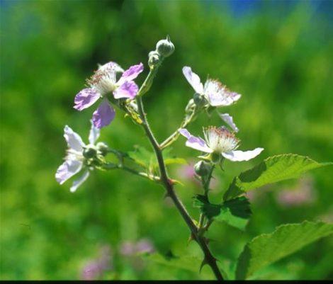 BLACKBERRY - Rubus fructicosus