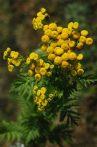Varádics (Tanacetum vulgare)