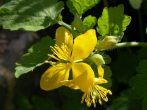 Vérehulló fecskefű (Chelidonium majus)