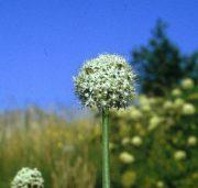 Vöröshagyma (Allium cepa)