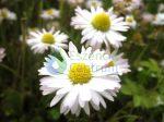 Százszorszép  (Bellis perennis – Daisy) Findhorn Virágeszencia 15ml.