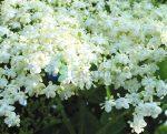 Elder Findhorn Flower Essence 15ml.