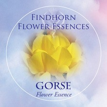Gorse Findhorn Flower Essence 15ml.