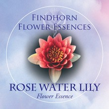 Rose Water Lily Findhorn Flower Essence 15ml.