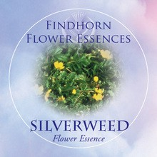 Silverweed Findhorn Flower Essence 15ml.
