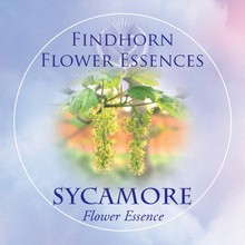 Sycamore Findhorn Flower Essence 15ml.