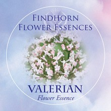 Valerian Findhorn Flower Essence 15ml.