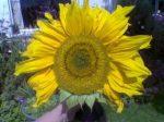 Sunflower (Napraforgó) Research Series Indigo eszencia 15ml.