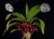 Orchidea Fém Elem eszencia