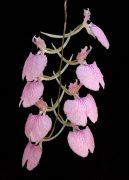 Behold the Silence orchidea eszencia