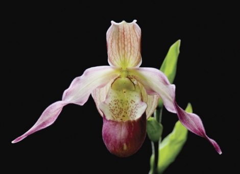Being in Time orchidea eszencia