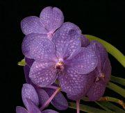 Being in Grace orchidea eszencia