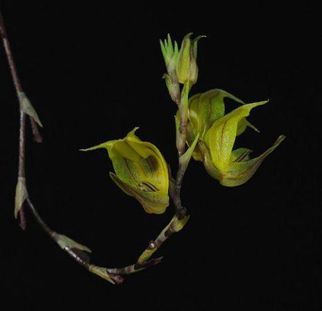 Celestial Triangle orchidea eszencia