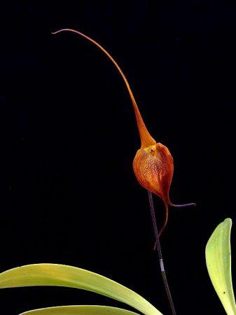 Crown of Consciousness orchidea eszencia
